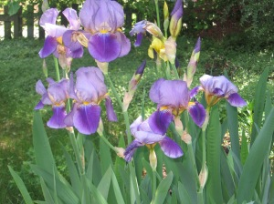 Garden Iris 3