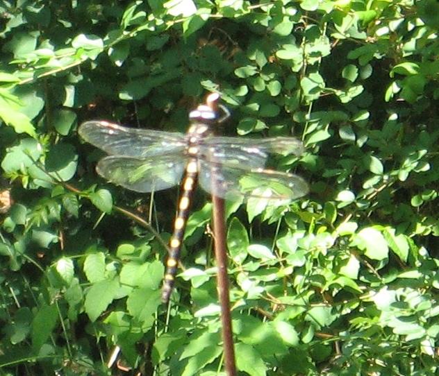 IMG_0577 dragonfly resize